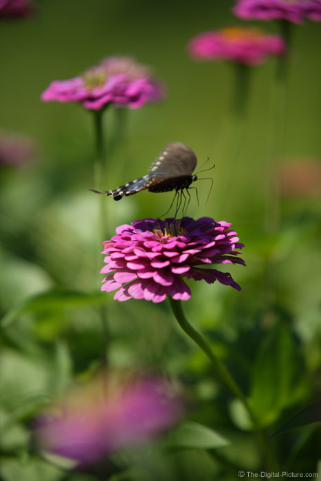 Black Swallowtail Butterfly Taking Flight Picture