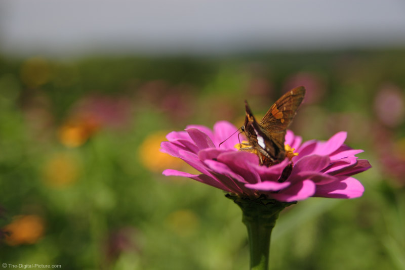 Butterfly on Flower Picture