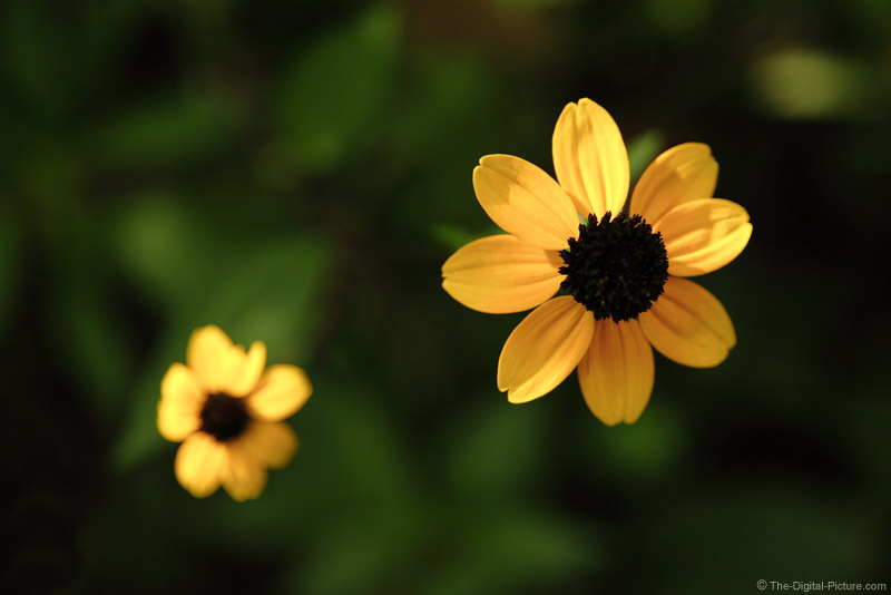 Pair of Black-Eyed Susans Picture