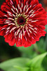 Red Zinnia Closeup Picture