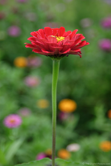 Straight Zinnia Flower Stem Picture