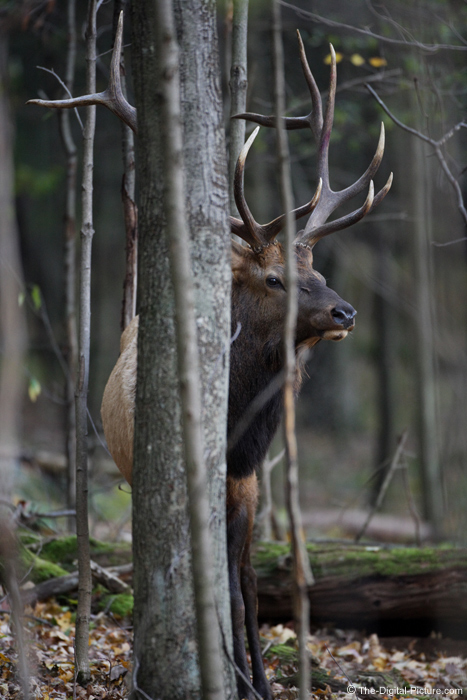 Elk in Woods Picture