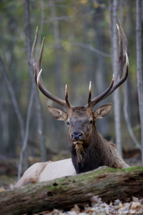 Bedded Bull Elk Picture