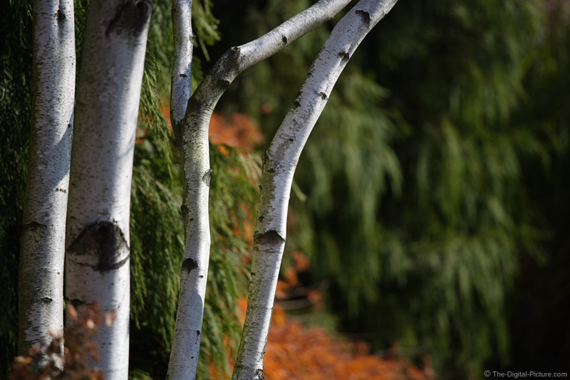 White Birch Tree Trunks Picture