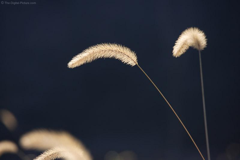 Field Grass Plumes
