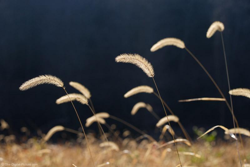 Field Grass Plumes 2
