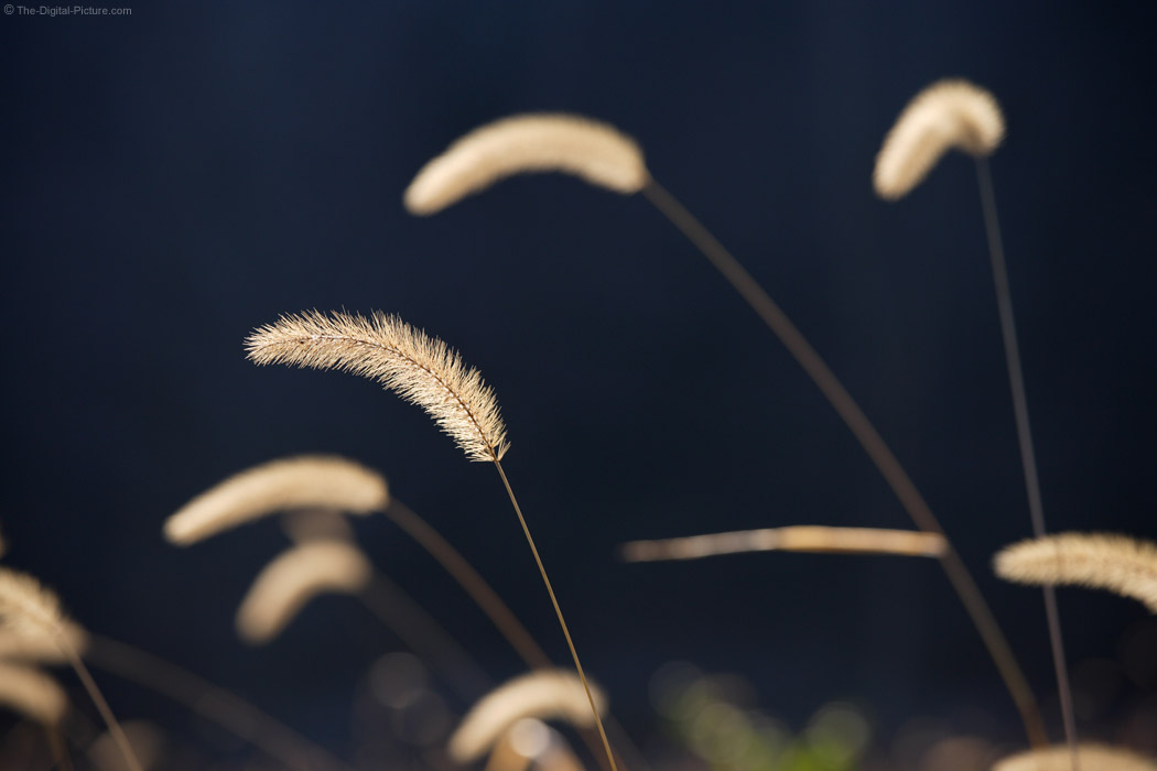 Field Grass Plumes Picture