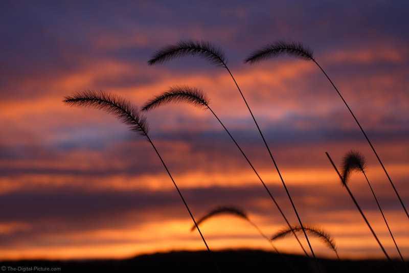 Grass Plumes at Sunrise Picture