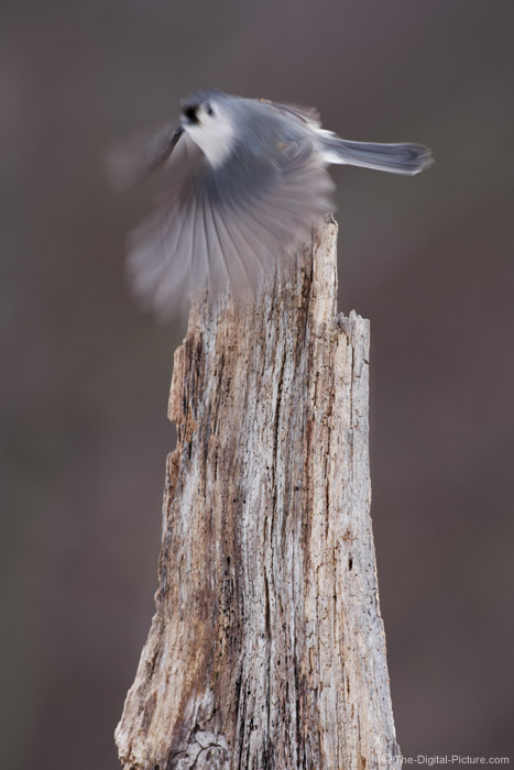 Motion-Blurred Tufted Titmouse Picture
