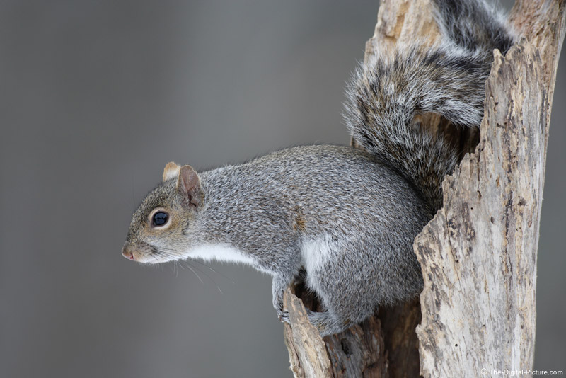 Gray Squirrel Peering From Dead Tree Picture