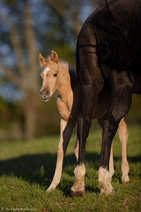 Colt Peering Out from Behind His Mother