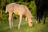 Palomino Quarter Horse Colt Picture