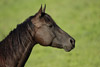 Attentive Quarter Horse Picture