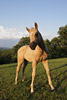 Palomino Foal Picture