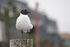 Laughing Gull Picture