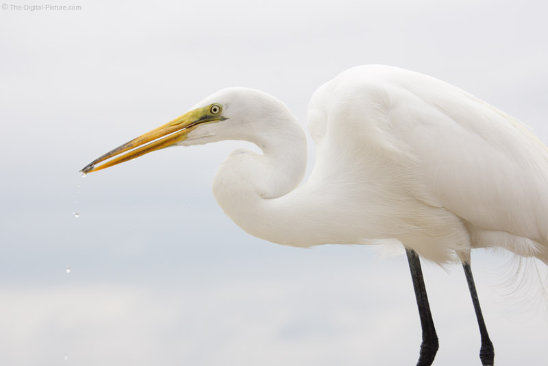 Great Egret with Shrimp Picture
