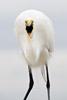 Great Egret Eating Shrimp Picture