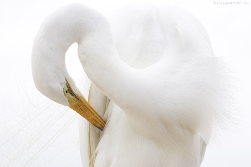 Great Egret Cleaning Feathers Picture