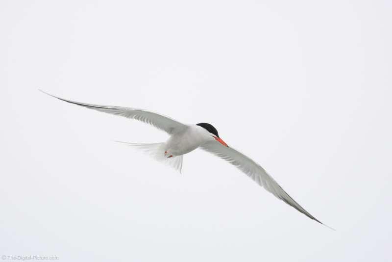 Common Tern in Flight Picture
