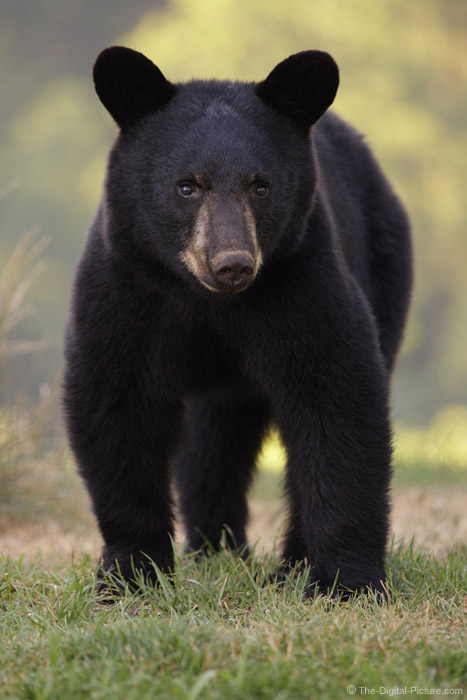 Young Pennsylvania Black Bear