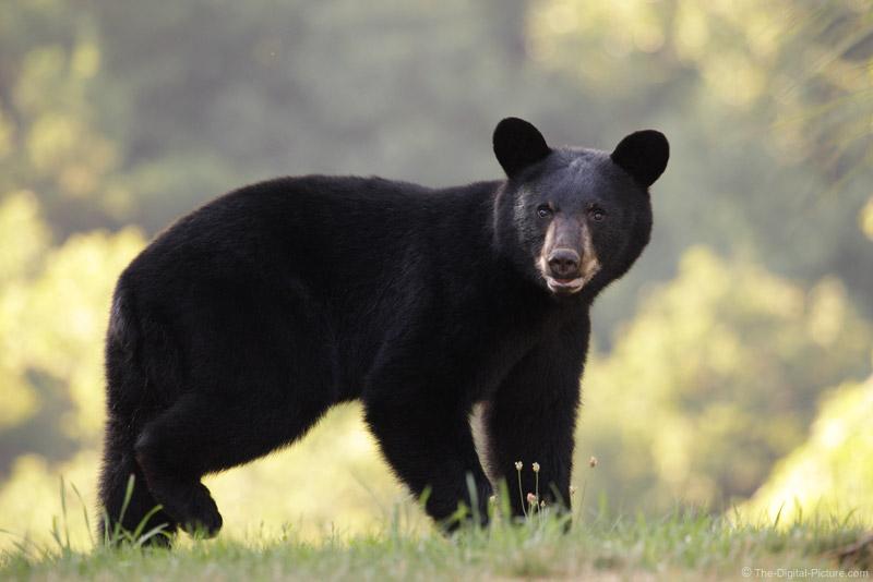 Pennsylvania Black Bear 2