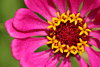 Pink Zinnia Flower Picture