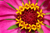 Pink Zinnia Picture