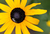 Bee on Black-Eyed Susan Picture