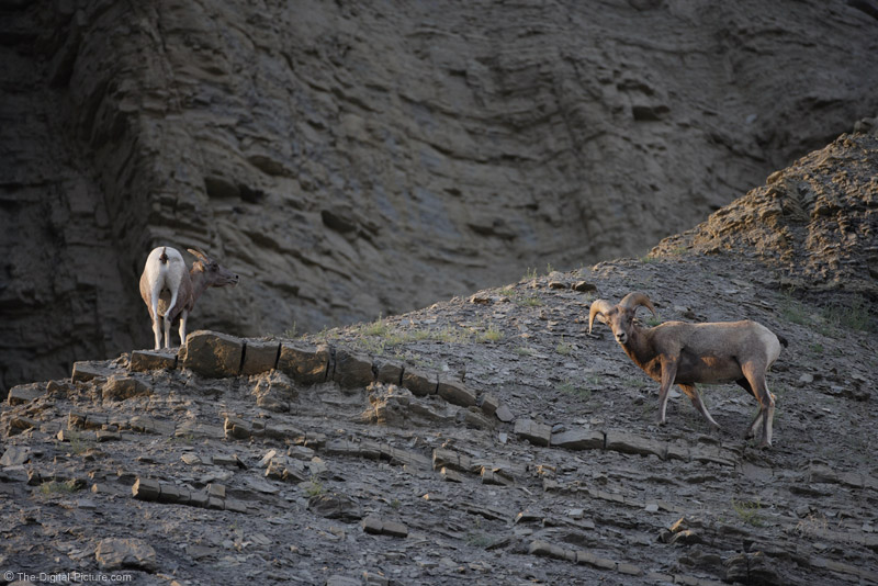 Bighorn Sheep Ram and Ewe