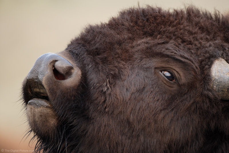 Bison Grunting Close-up Picture