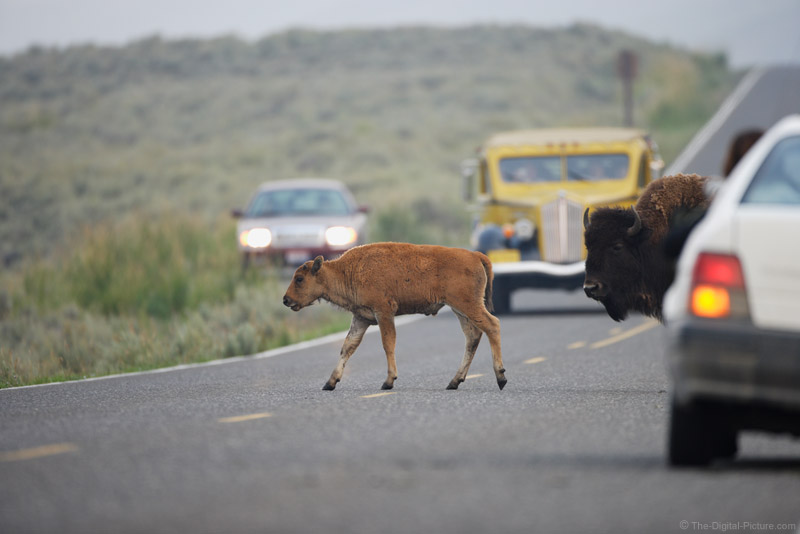 Bison Crossing Picture