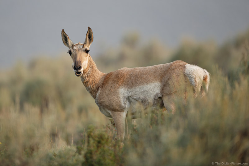 A Pronghorn Talking