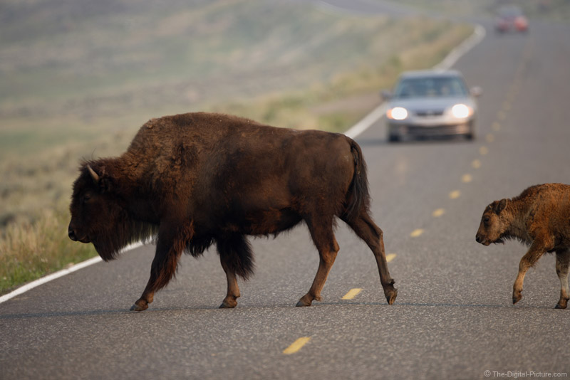 Bison Cow and Calf Crossing Road
