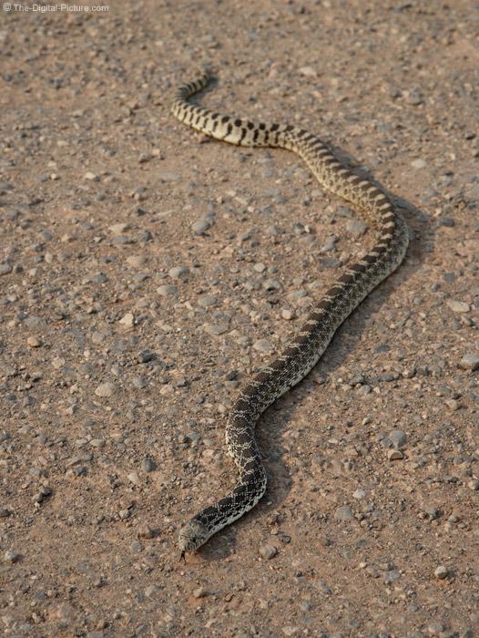 Bull Snake Picture