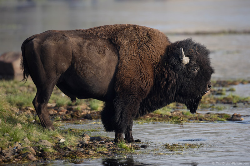Bison Drinking Picture