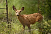 Mule Deer Fawn Picture