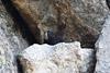 Black Marmot Picture