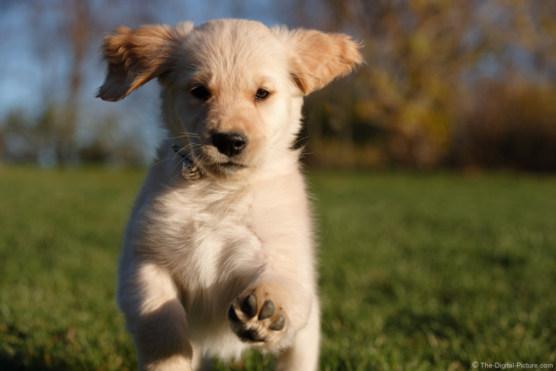 Running Golden Retriever Puppy