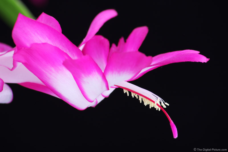 Christmas Cactus Picture