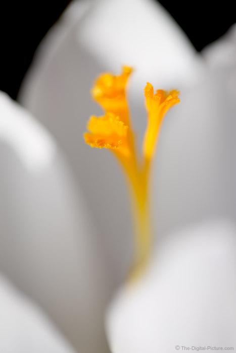 White Crocus Close-up Picture