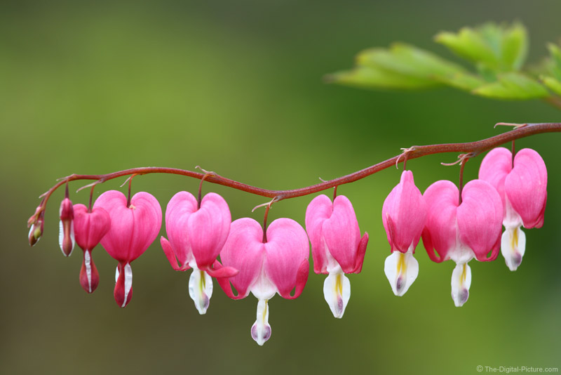 Bleeding Hearts Picture