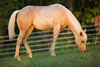 The Sun Sets on a Palomino Quarter Horse