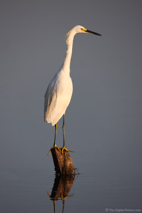 Snowy Egret Picture