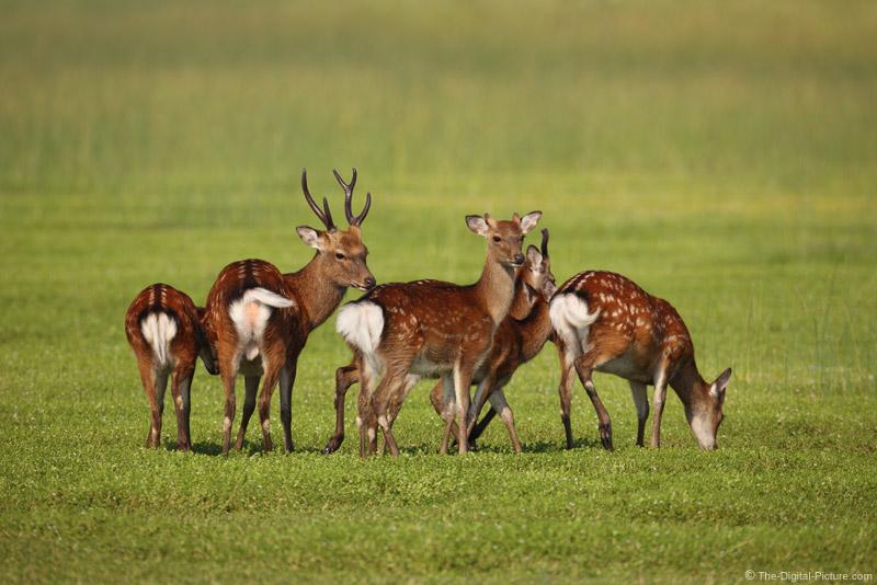 Assategue Island Sitka Deer Picture
