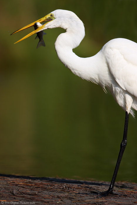 Great Egret and a Fish