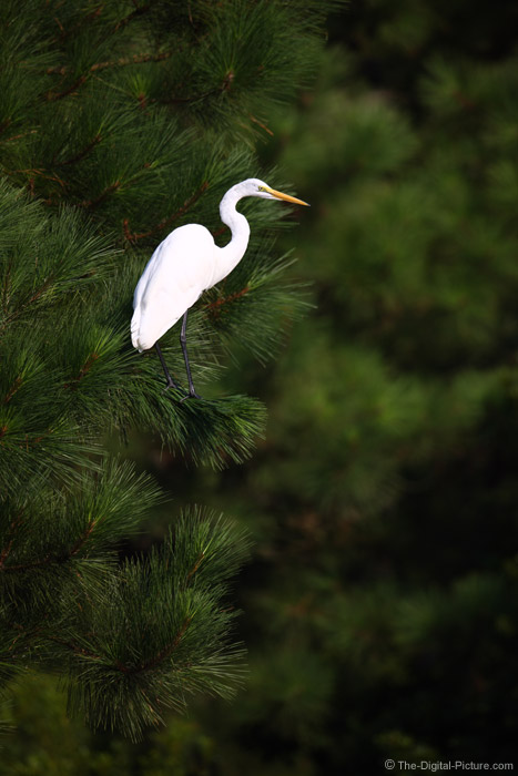Great Egret in Pine tree Picture