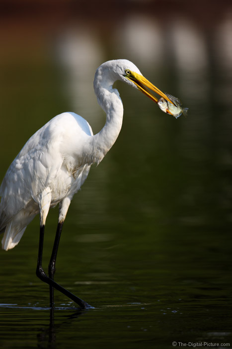 Great Egret with Speared Fish