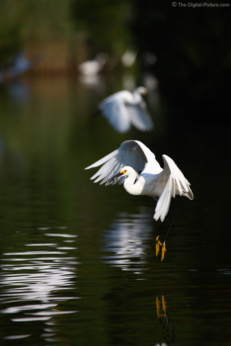 Snowy Egret with Fish