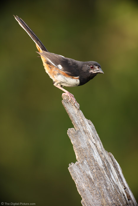 Rufous-sided Towhee Picture