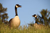 Talking Canada Geese
